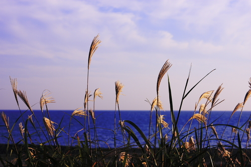 Japanese_pampas_grasses_by_the_sea