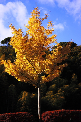 Yellow_ginkgo_tree