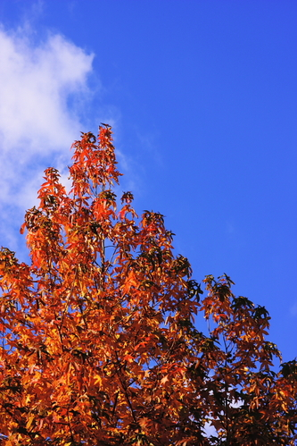 Red_leaves_and_blue_sky