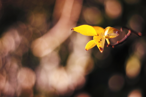 Yellow_leaves