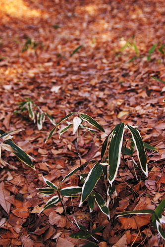 Fallen_leaves_and