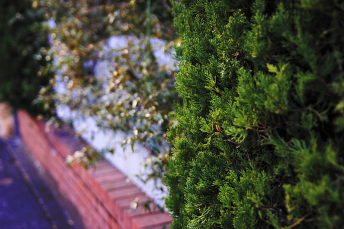 Juniperus_chinensis