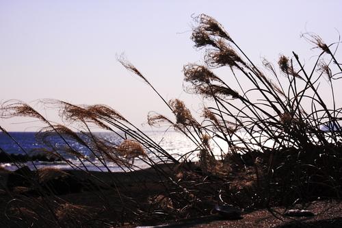 Silver_grasses