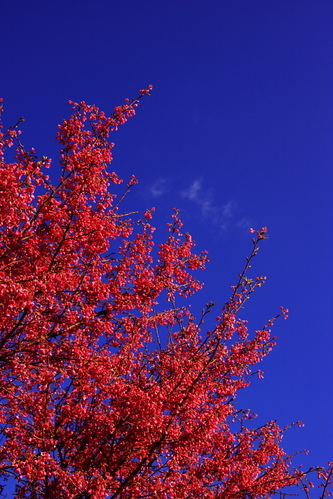 Red_ume_and_sky