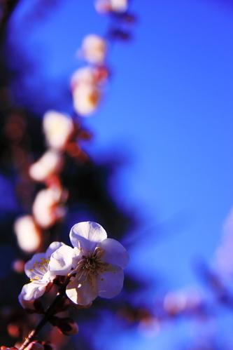 Ume_blossoms