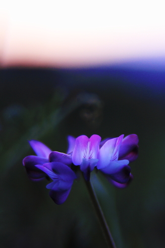 Chinese_milk_vetch_in_the_evening