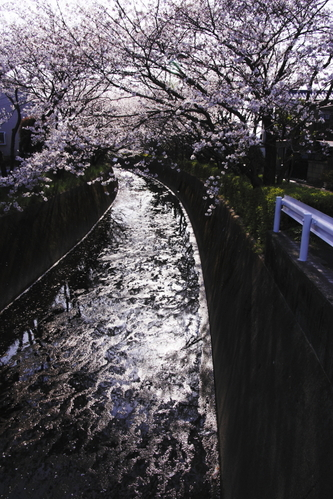 A_way_from_cherry_blossoms