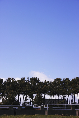 Sea_side_pine_trees