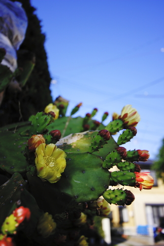 Flowers_of_a_cactus