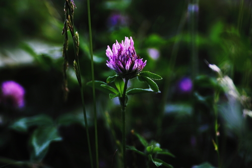 Purple_in_the_summer