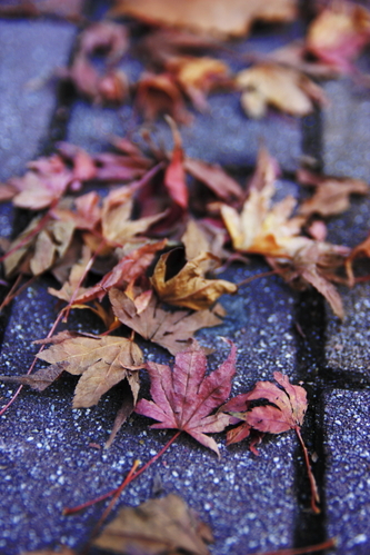 Fallen_maple_leaves
