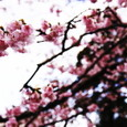 Cherry_blossoms_3