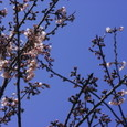 Cherry_blossoms_4
