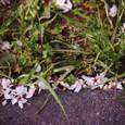 Fallen_blossoms
