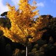 Yellow_ginkgo_tree